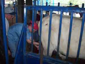 At the Beef Cattle Farm Asis Veterinary Educational Abroad Program