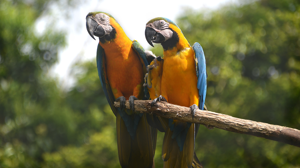 Gold and blue Macaws daily seen at Proyecto Asis